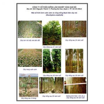 Ảnh vườn ươm & rừng trồng Bạch đàn mô